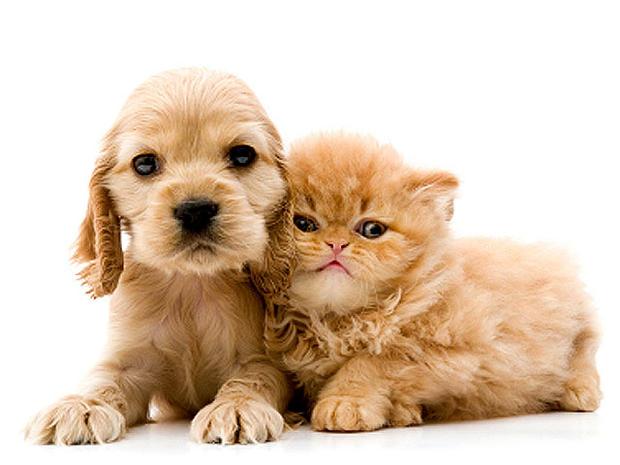 Hypoallergenic Pet